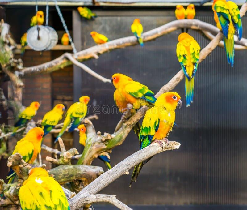 Aviculture, periquitos coloridos do sol que sentam-se nos ramos no aviário, animais de estimação populares de América, specie pos imagens de stock royalty free