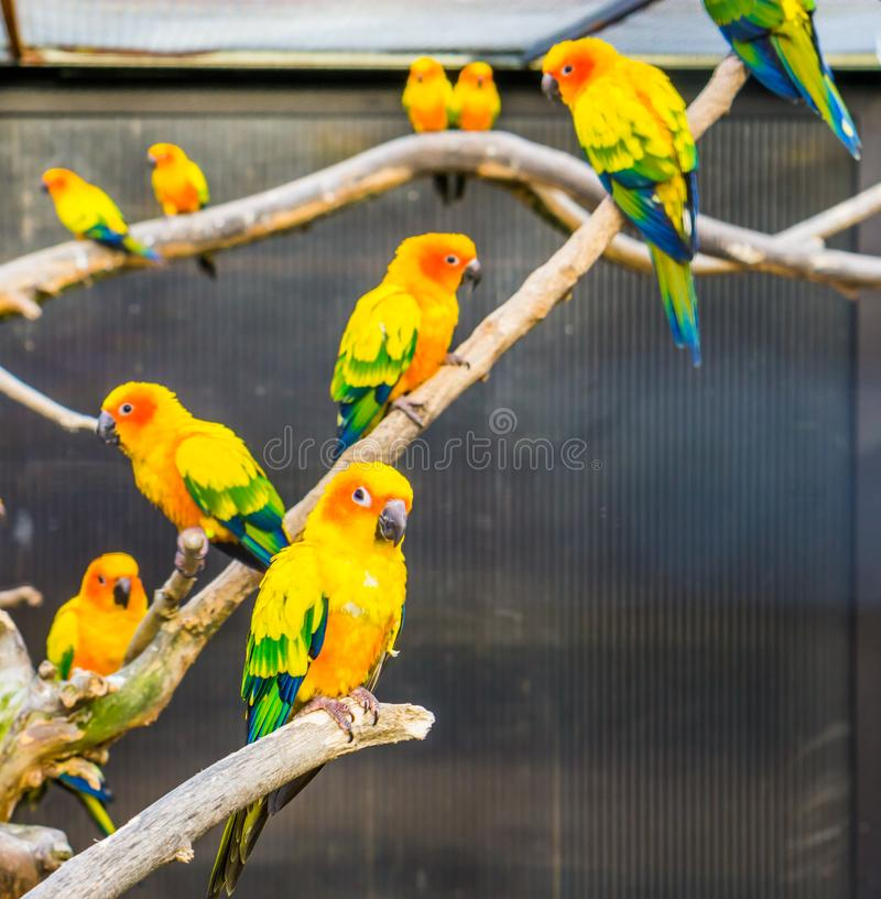 Aviculture, periquitos de Sun que sentam-se em ramos no aviário, papagaios pequenos tropicais coloridos, pássaros postos em perig foto de stock royalty free