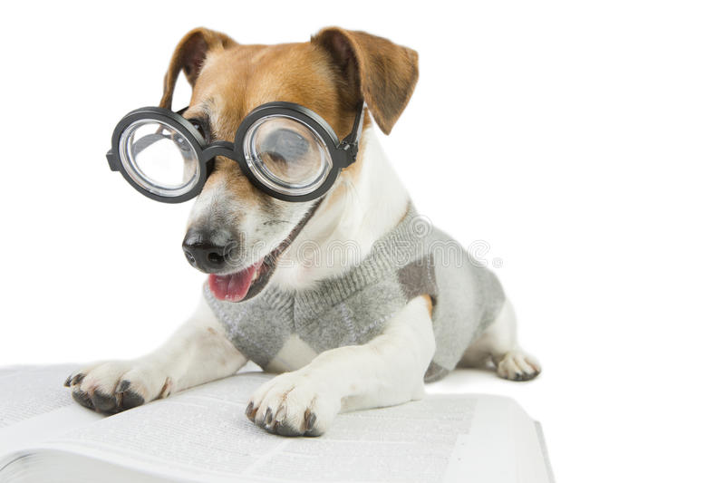 Avid cute funny reader. Glasses for poor vision. Smart funny dog is Studying stock image