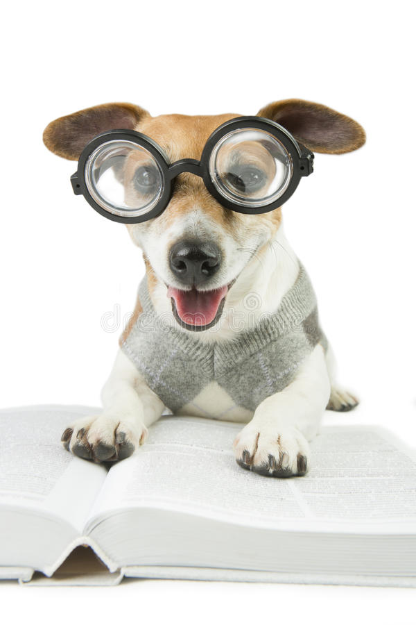 Avid reader happy dog. Glasses for poor vision. Smart funny dog Jack Russell terrier and a lot of books royalty free stock image