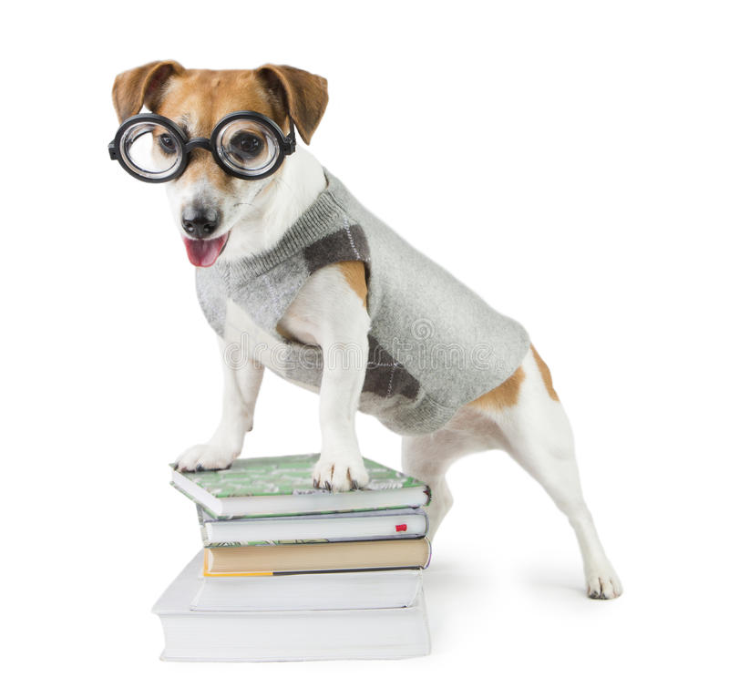 Avid smart reader. Glasses for poor vision. Smart funny dog Jack Russell terrier and a lot of books royalty free stock photo