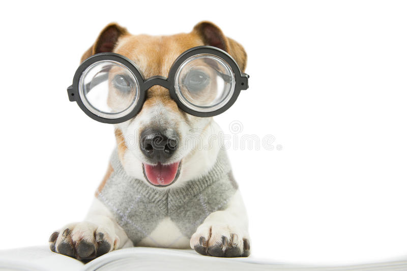 Avid smart reader. Glasses for poor vision. Smart funny dog is Studying stock image