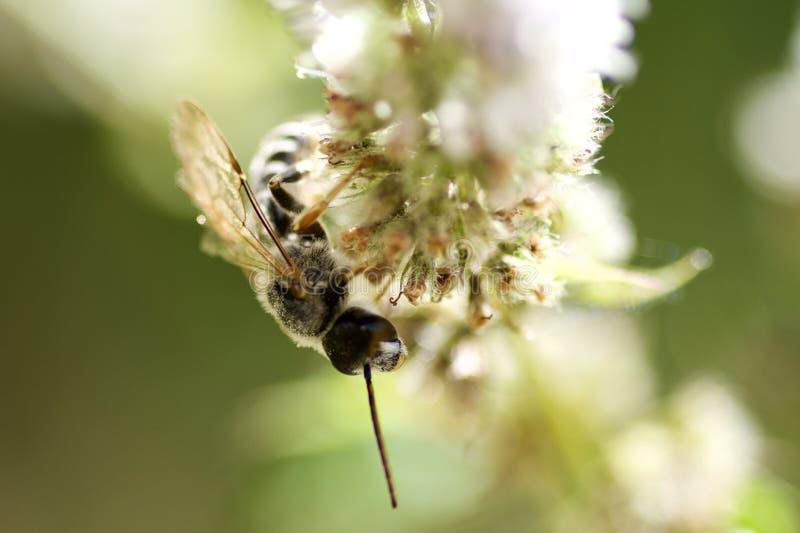 Avispa blanca en la flor de la menta fotografía de archivo