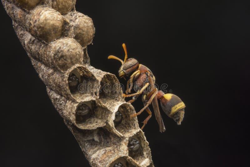 Avispa de papel del fasciata- de Ropalidia foto de archivo libre de regalías
