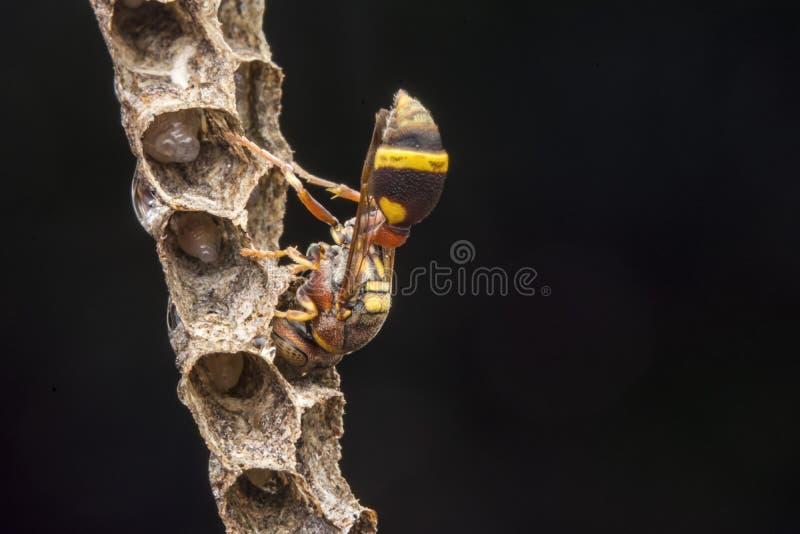 Avispa de papel del fasciata- de Ropalidia fotografía de archivo libre de regalías