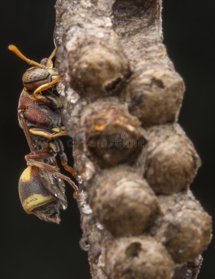 Avispa de papel del fasciata- de Ropalidia fotos de archivo libres de regalías