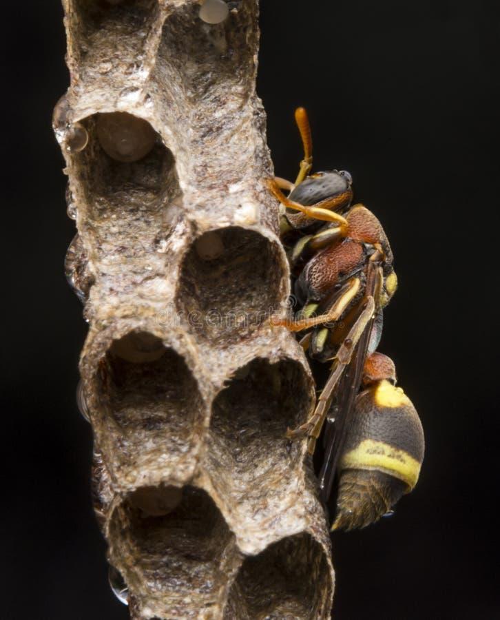 Avispa de papel del fasciata- de Ropalidia imágenes de archivo libres de regalías