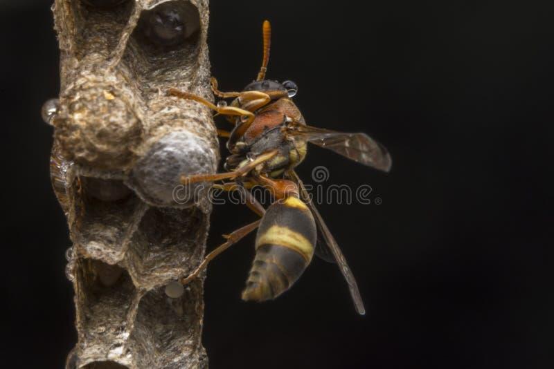 Avispa de papel del fasciata- de Ropalidia imagenes de archivo