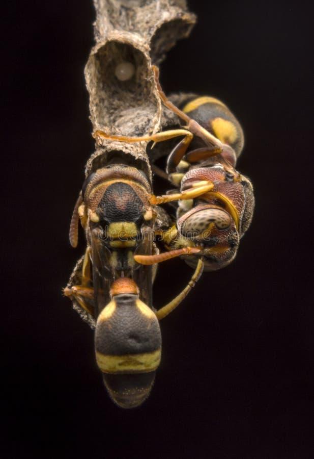 Avispa de papel del fasciata- de Ropalidia fotos de archivo