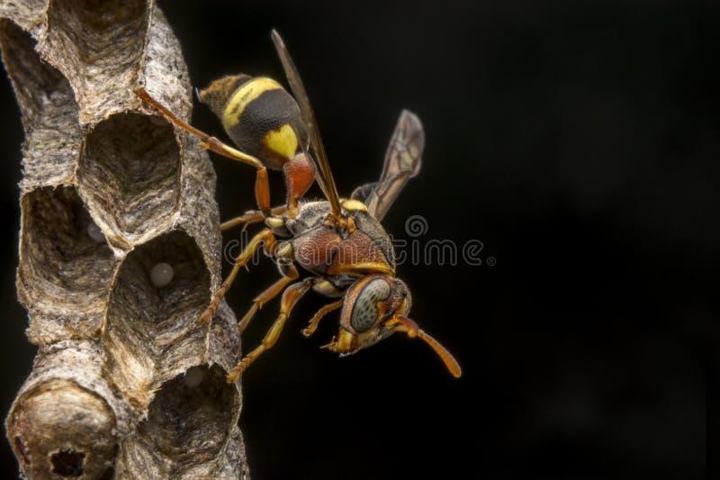 Avispa de papel del fasciata- de Ropalidia fotografía de archivo