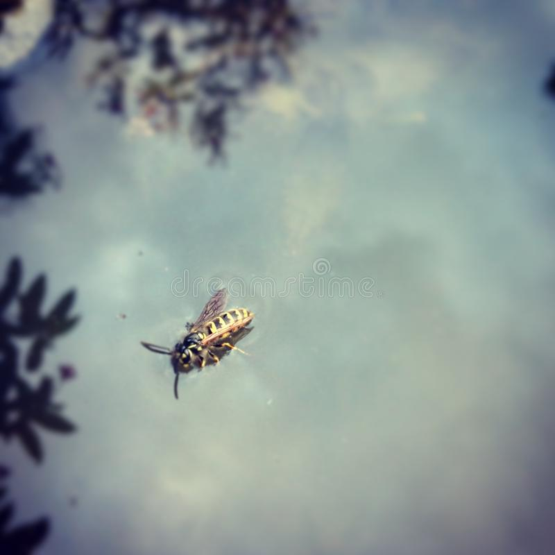 Avispa en el agua foto de archivo libre de regalías