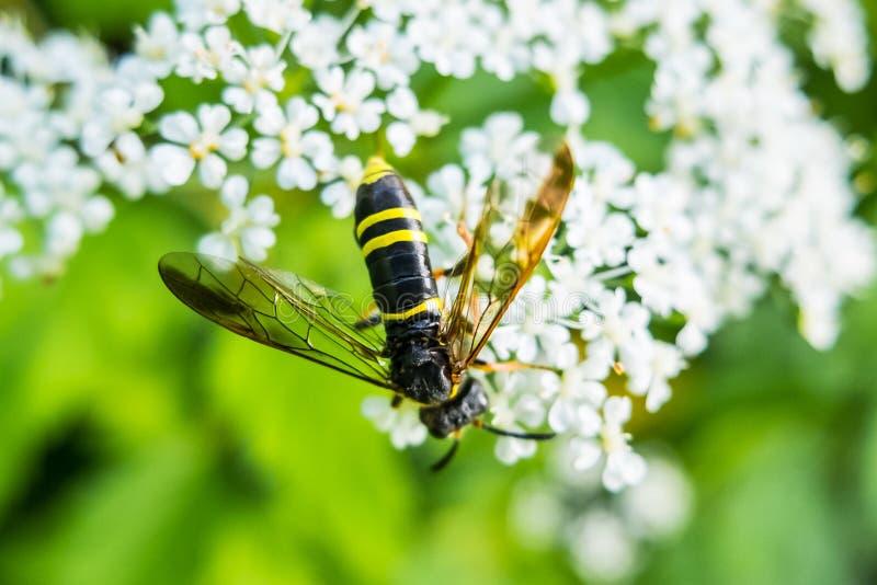 Avispa en la flor que come el néctar fotografía de archivo libre de regalías