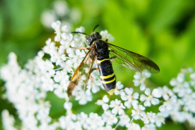 Avispa en la flor que come el néctar fotografía de archivo