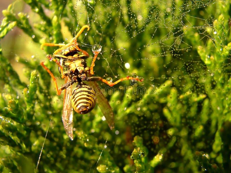 Avispa en la red de la araña con las gotas de rocío fotografía de archivo