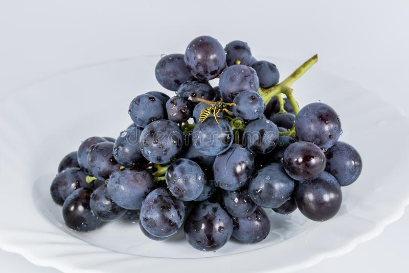Download Avispa que come las uvas imagen de archivo. Imagen de minimalism - 100535349