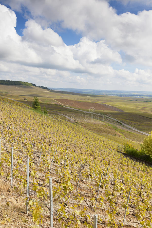 Avize vineyards, Champagne region. stock photography