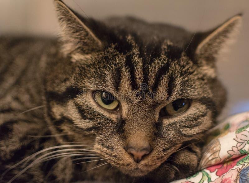 Avkopplad gullig och randig katt kort efter som vaknar upp royaltyfri foto
