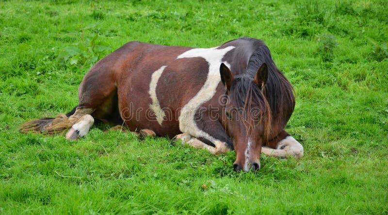 Avkopplade skäckiga hästar som ligger i gräset ireland royaltyfri foto