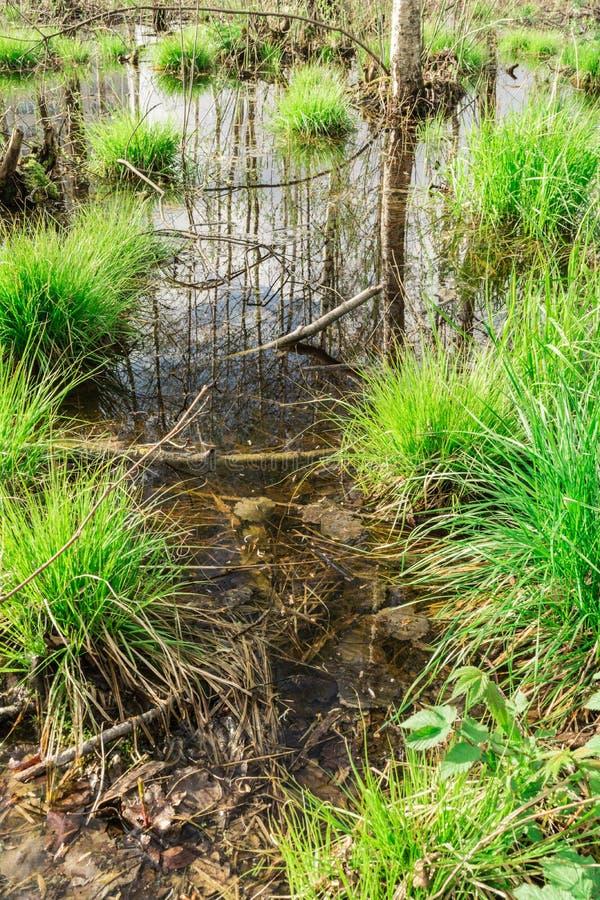 avkroken i skogen, i vattnet den blåa himlen och trädstammarna reflekteras, på grupper växer det första vårgräset arkivfoton