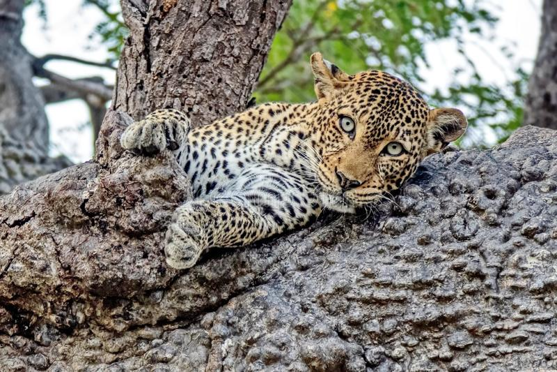 Avlägset - östlig leopard eller Amur leoparder Closeup st?ende F?r n?rvarande det avl?gset - den ?stliga leoparden ?r p? kanten a royaltyfri foto