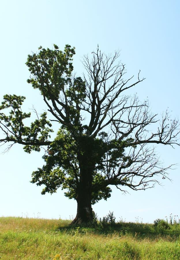 Avlövad ek för härlig halva på ett fält på en sommardag arkivfoto