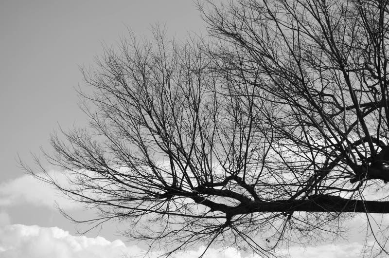Avlövad trädfilial i vintern, svartvit signal royaltyfri fotografi