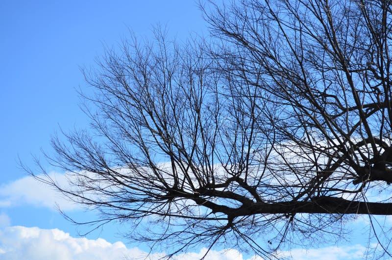 Avlövad trädfilial mot blå himmel i vinter arkivbild