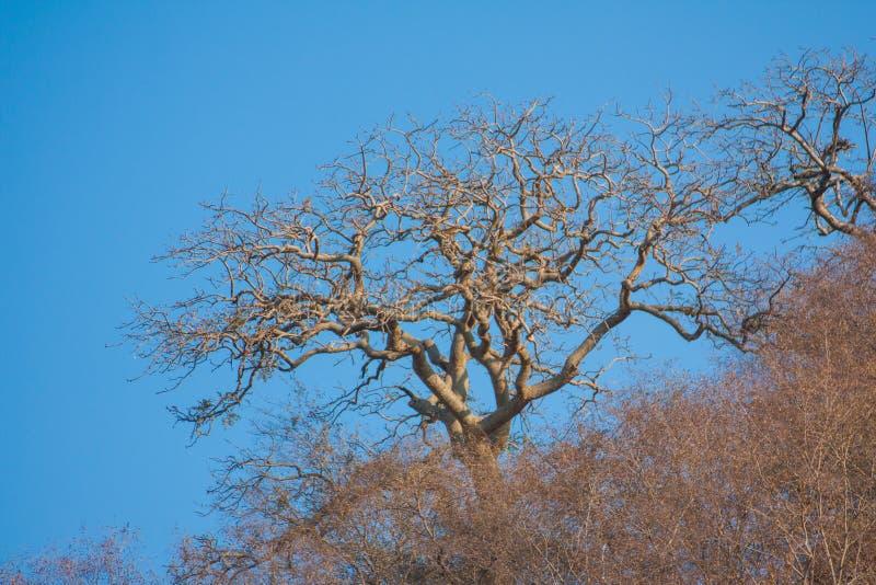 avlövad tree arkivfoton