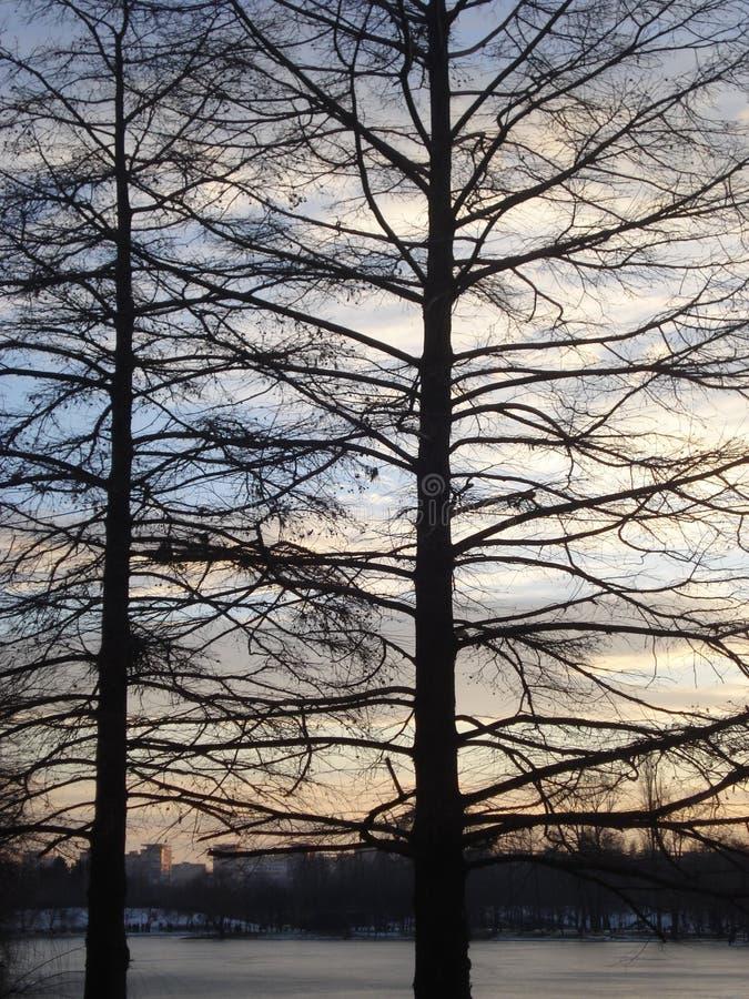 Avlövade konturer för träd för skalliga cypressar i aftonen arkivfoton