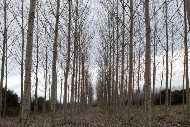 Avlövade poppelträd i vintern arkivbild