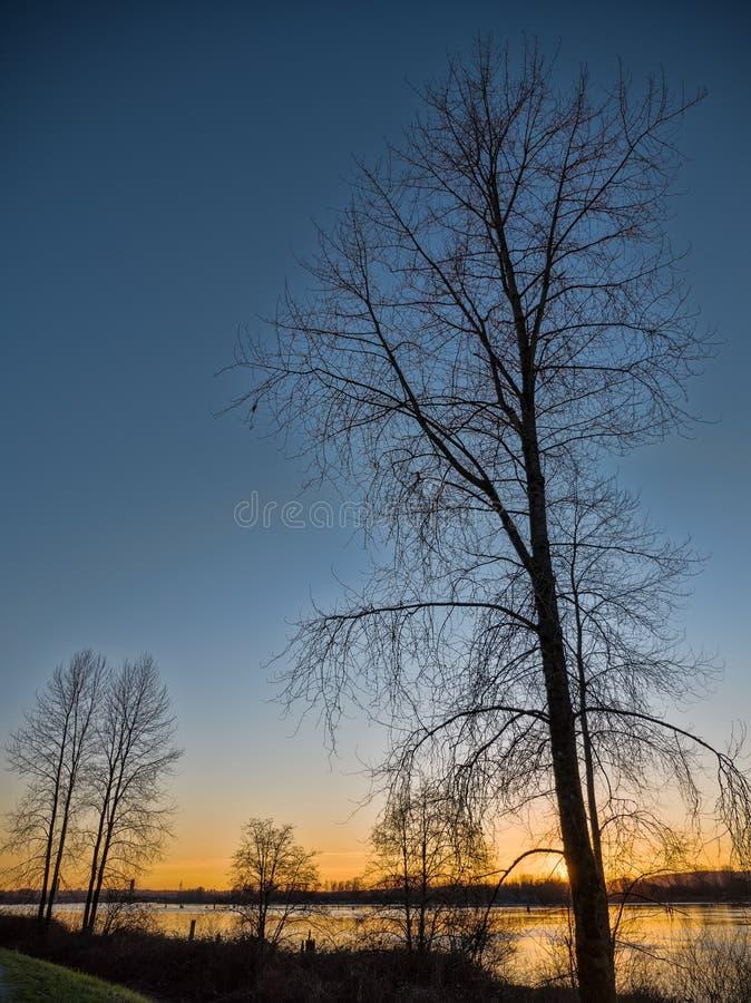 Avlövat träd bredvid floden på solnedgången royaltyfria bilder