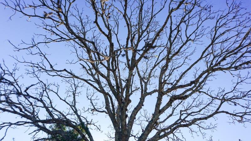 Avlövat träd och blå bakgrund arkivbilder