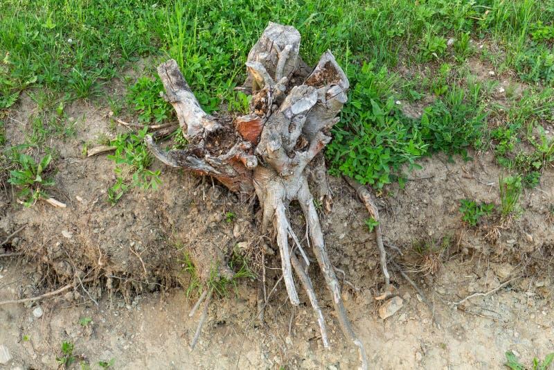 Avobe todo da árvore Raizes da árvore na floresta imagens de stock
