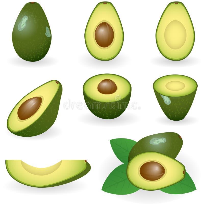 Avocado. Vector illustration of avocado fruit