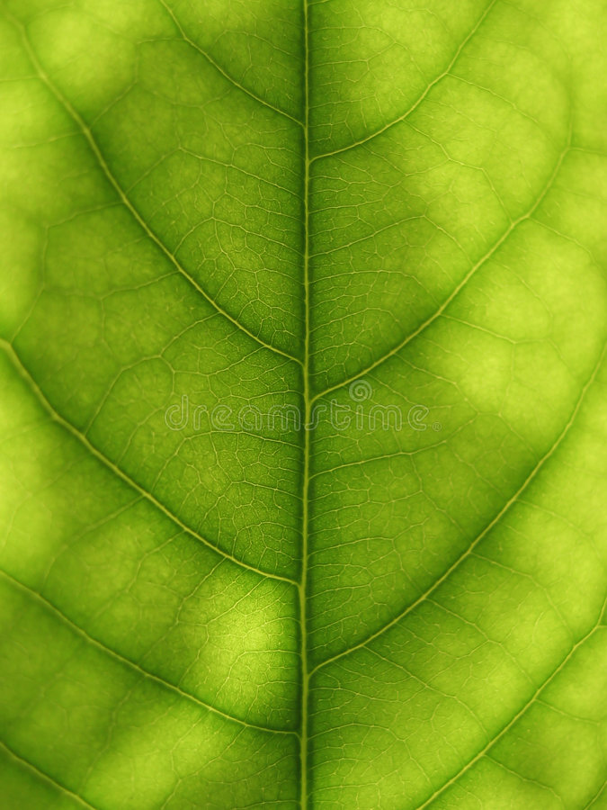 Download Avocado stock image. Image of texture, natural, foliage - 6776991