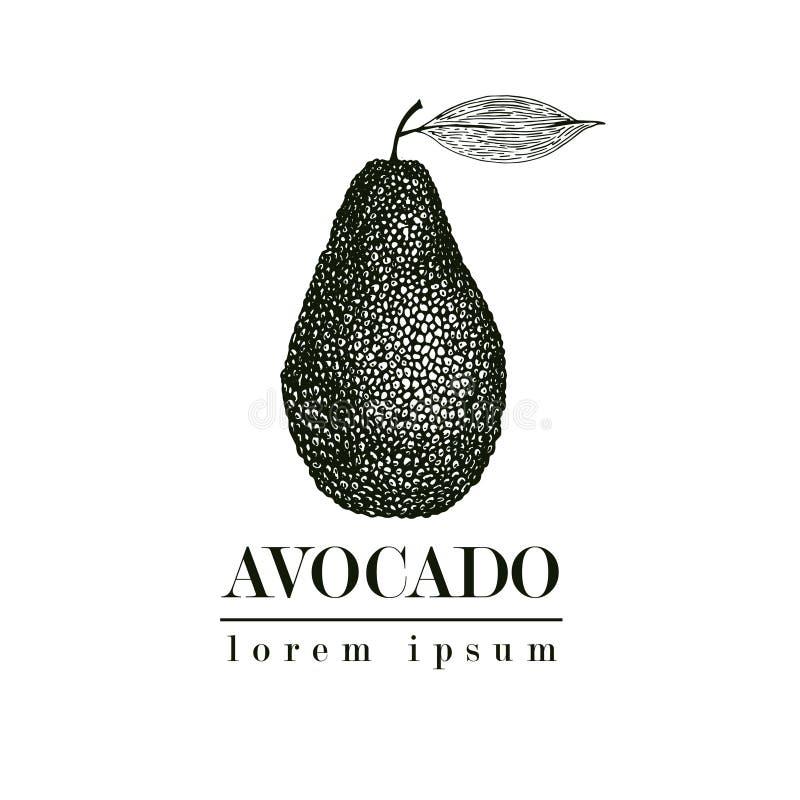 Avocado disegnato a mano di vettore Retro illustrazione di stile della frutta tropicale di estate Disegno dettagliato dell'alimen royalty illustrazione gratis