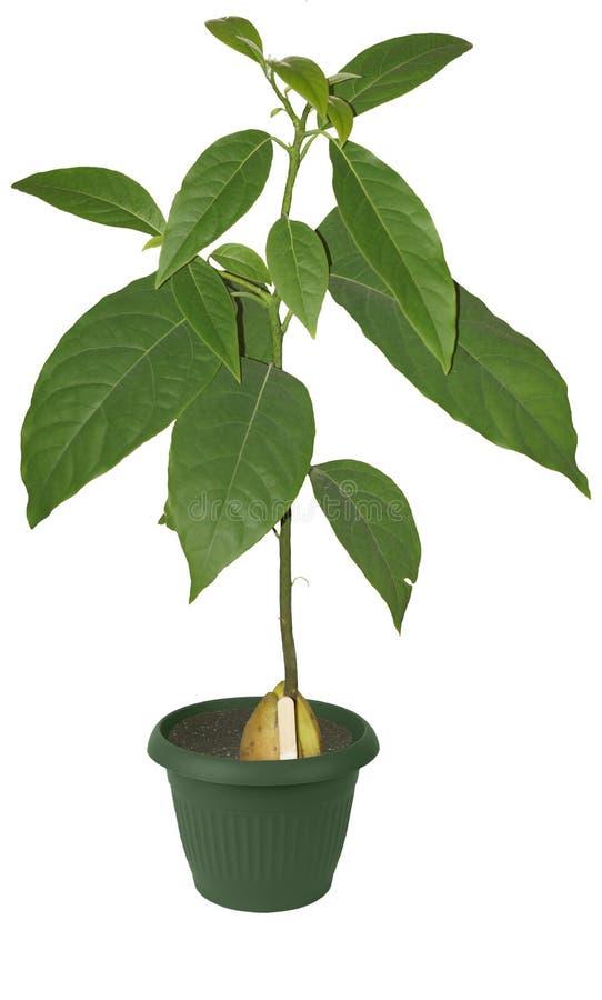 Download Avocado in een bloempot stock foto. Afbeelding bestaande uit groei - 54077402