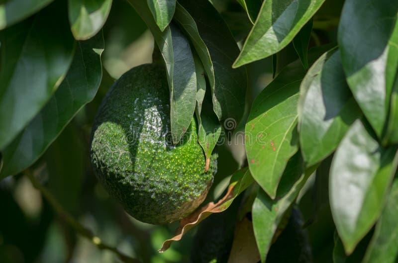 Avocado fruits growing on avocado tree stock images