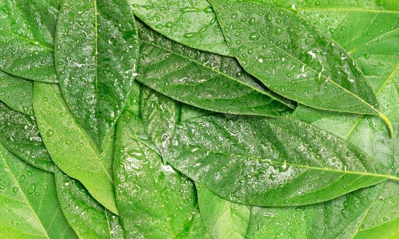 Avocado groene natte bladeren stock afbeeldingen