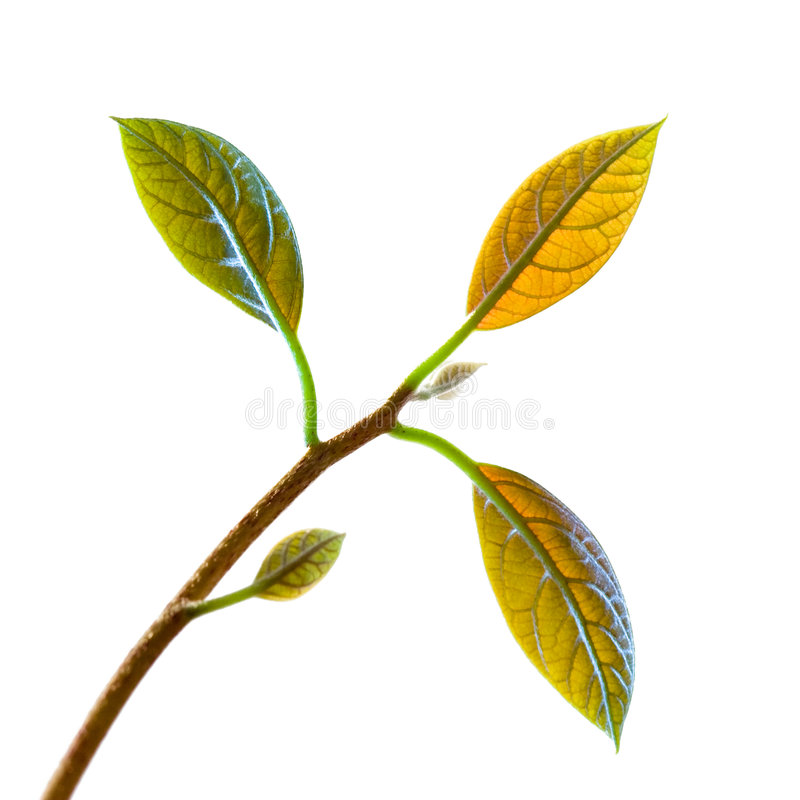 Avocado leaf. A small and young avocado tree royalty free stock photos