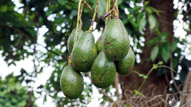 Avocado na drzewie fotografia stock