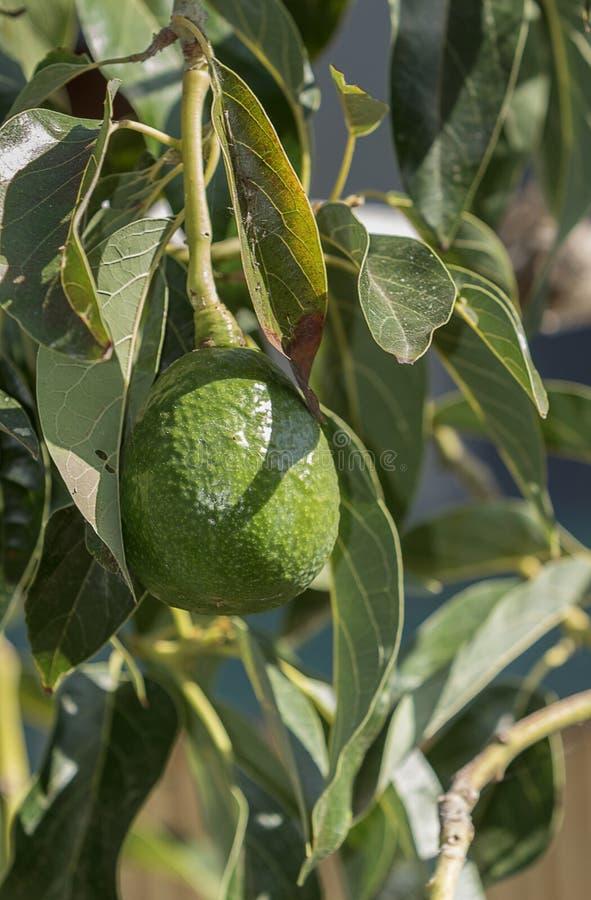 Avocado op de boom royalty-vrije stock afbeeldingen