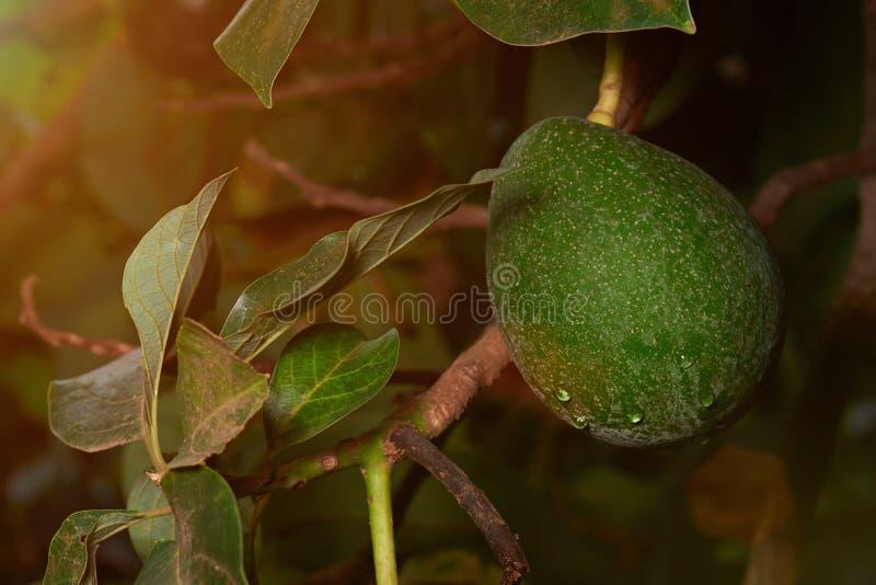 Avocado owoc gospodarstwo rolne obrazy royalty free