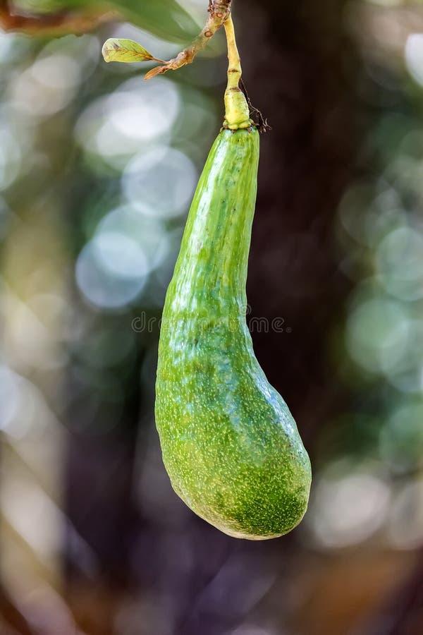 Avocado Persea americana Brazil zdjęcia stock