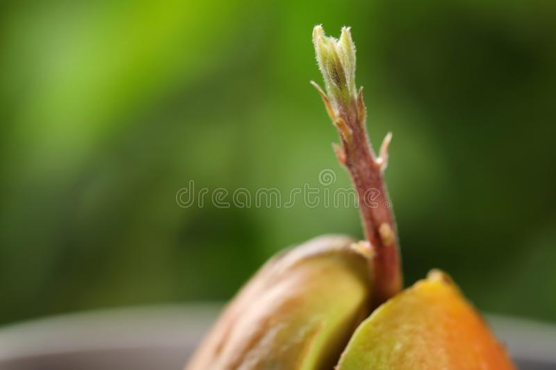 Avocado pit with sprout on blurred background. Space for text. Avocado pit with sprout on blurred background, closeup. Space for text stock image
