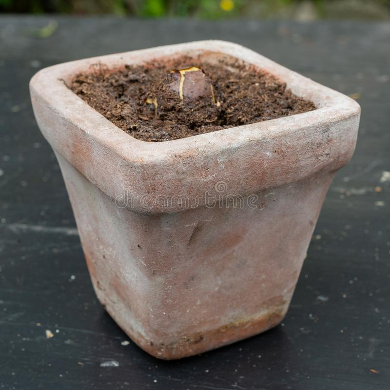 Avocado rośliny nasiona dorośnięcie w ceramicznym kwiatu garnku fotografia royalty free