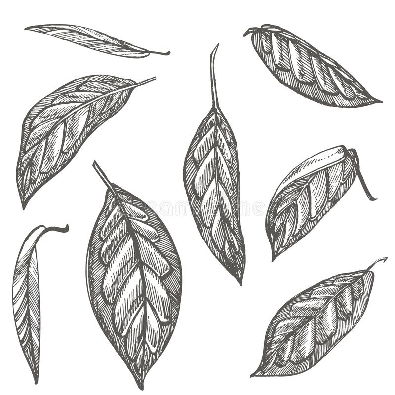 Avocado set. Vector hand drawn illustrations. Avocado, sliced pieces, half, leaf and seed sketch. Tropical summer fruit. Engraved style illustration vector illustration