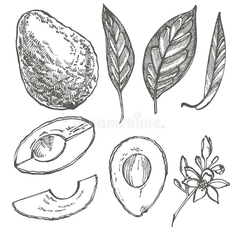 Avocado set. Vector hand drawn illustrations. Avocado, sliced pieces, half, leaf and seed sketch. Tropical summer fruit. Engraved style illustration royalty free illustration