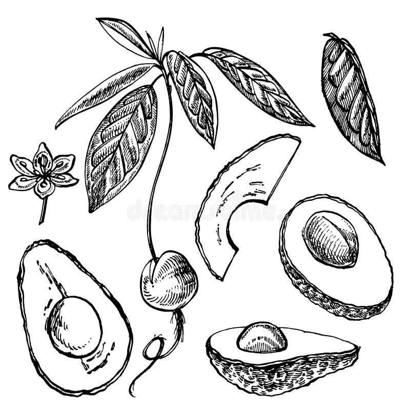 Avocado set Wektorowa ręka rysować ilustracje Avocado, pokrajać kawałki, połówka, liść i ziarno, kreślimy Tropikalna lato owoc royalty ilustracja