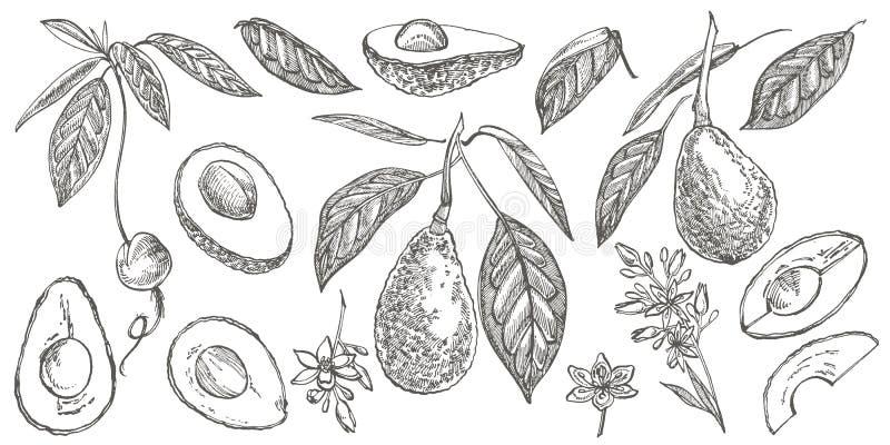 Avocado set Wektorowa r?ka rysowa? ilustracje Avocado, pokraja? kawa?ki, po??wka, li?? i ziarno, kre?limy Tropikalna lato owoc royalty ilustracja